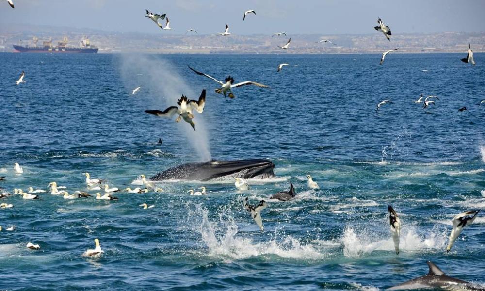 whales, algo bay, port elizabeth, gulls, feeding, humpback