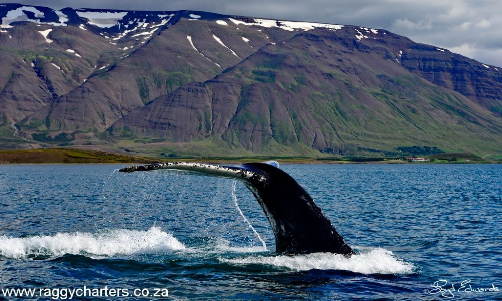 whale, watching, tail, festival, port elizabeth, eastern cape
