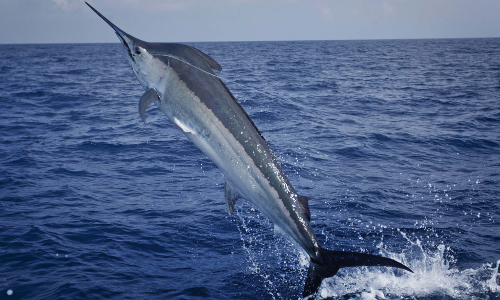 skip, bait, rig, how to, for, black, marlin, circle, hook, chafe, tube, as, pitch, lures, how do you, trolling, jube-jube, bonito, striped, oriental, what is, species, what to do, hook up, how to, fish, target, game, jaco hendriksz, sadsaa, angler, protea, south africa, billfish, dorado, ski boat, club